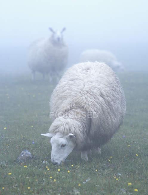 Moutons paissant sur Prairie dans le brouillard à Terre-Neuve, Canada — Photo de stock
