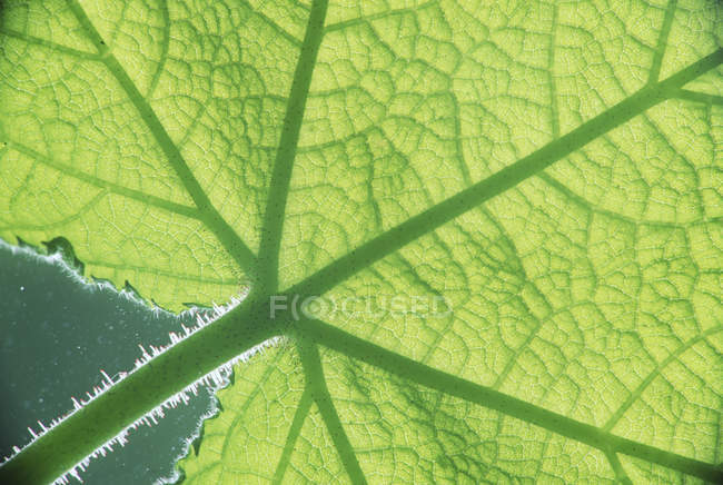 Close-up de folha verde brilhante com estrias na luz solar — Fotografia de Stock
