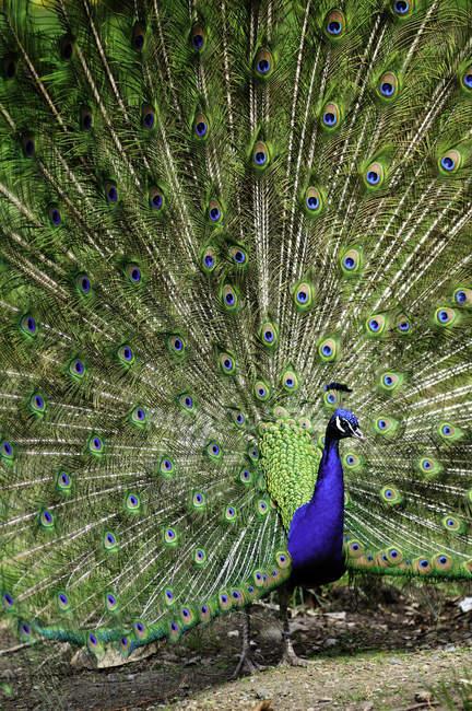 Павлин, отображение красочные перья в спаривания ритуал. — стоковое фото