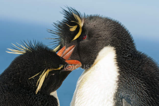 Закри племінної пара rockhopper пінгвінів на Фолклендських островах, півдні Атлантичного океану — стокове фото