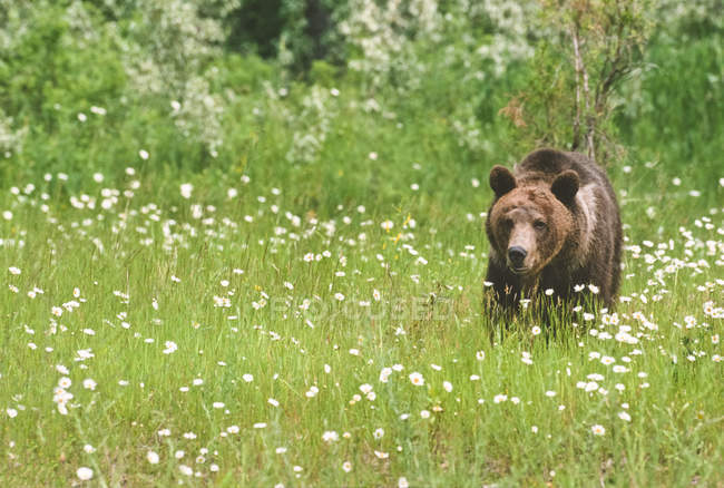 Grizzly bear walking in summer mountain meadow with margherite, Montana, Stati Uniti d'America — Foto stock