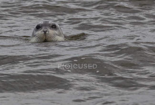 Bartrobbe im Wasser, hudsons bay, manitoba, canada. — Stockfoto