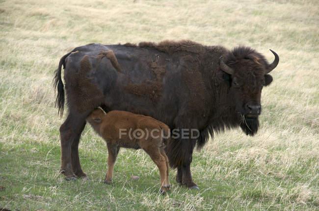 Wilder amerikanischer Wisent mit neugeborenem Kalb im Windhöhlen-Nationalpark, South Dakota, USA. — Stockfoto