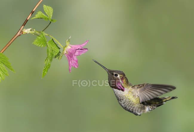 Mâle Anna Hummingbird battant et s'alimentant à fleur, gros plan. — Photo de stock