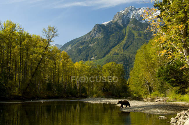 Grizzly bear walking on shore of Bella Coola River in front of Mount Stupendous, British Columbia, Canada — стокове фото