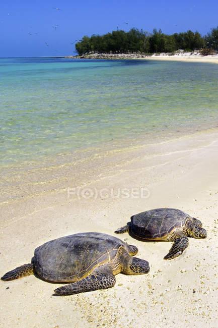 Tortugas marinas verdes descansando en la playa de arena de Hawaii, Estados Unidos de América - foto de stock