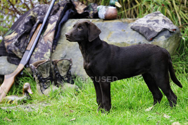 Chocolate labrador by shotgun and camouflage jacket and boots, Duncan, British Columbia, Canada. — Stock Photo