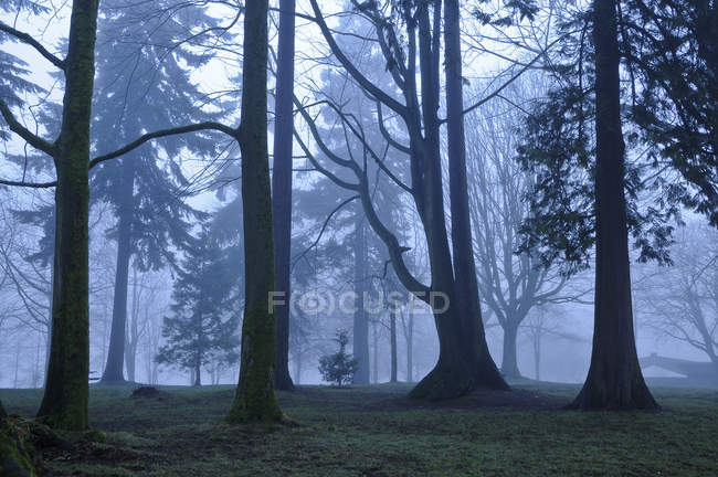 Деревья в туманном Стэнли-парке, Ванкувер, Британская Колумбия, Канада — стоковое фото