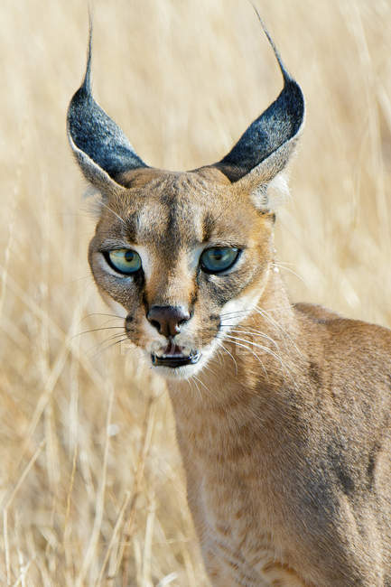 Alert caracal hunting in tall grass meadow in Samburu National Park, Kenya, East Africa — Stock Photo