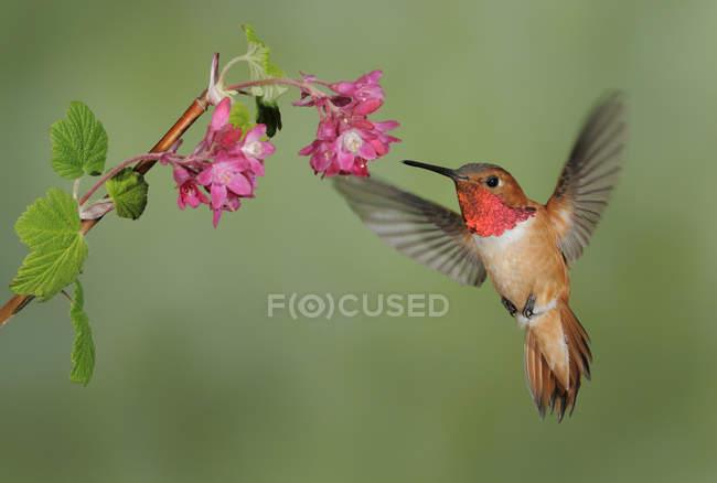Мужчины Rufous колибри кормления на воздухе, цветок крупным планом. — стоковое фото