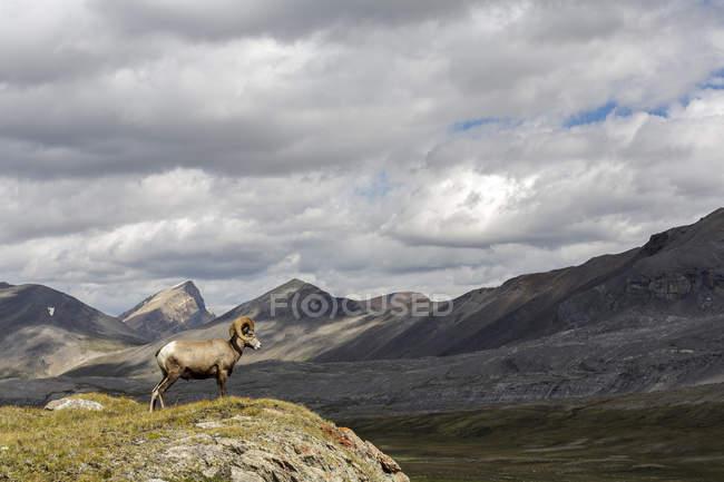 Bighorn Schafe grasen auf Wilcox Pass, Jasper Nationalpark, Alberta, Kanada. — Stockfoto