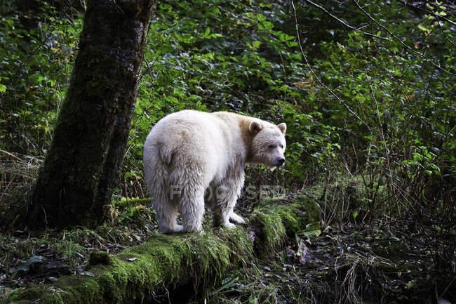 Kermode urso em pé na log de musgo na Great Bear Rainforest da Colúmbia Britânica, Canadá — Fotografia de Stock