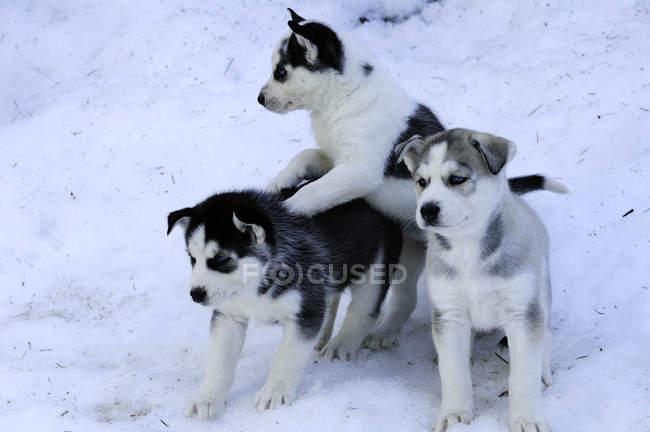 Husky siberiano filhotes brincando na neve. — Fotografia de Stock