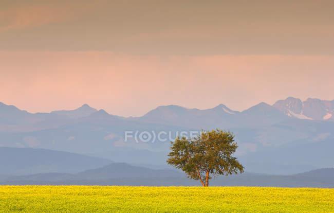 Желтый рапс поле, дерево и канадских Скалистых горах вблизи Кокрановской, Альберта, Канада — стоковое фото