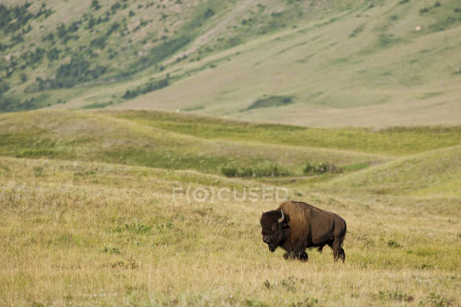 Plains bison grazing on green meadow in Waterton Lakes National Park, Alberta, Canada — Stock Photo