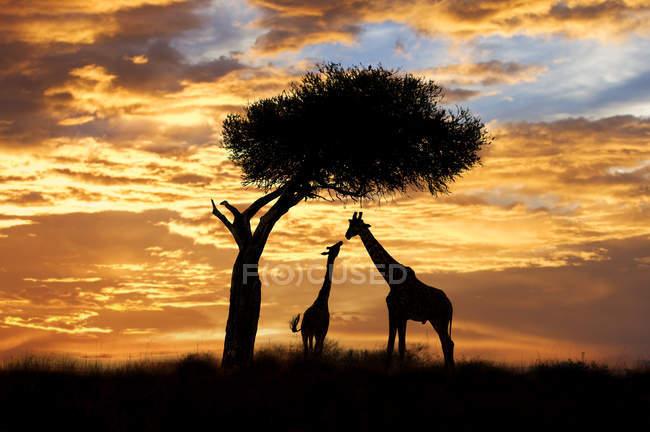 Силуети дорослих і неповнолітніх жирафи під дерева акації в Масаї Мара заповідника, Кенія, Східна Африка — стокове фото