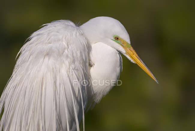 Bianco Airone uccello in piedi all'aperto, vista laterale. — Foto stock