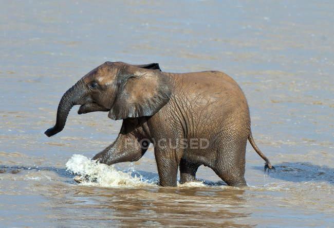 Африканський слон теля, перетинаючи річку Ewaso Nyiro в Самбур Національний парк, Кенія, Східна Африка — стокове фото