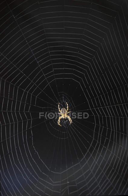 Aranha no padrão web contra fundo preto. — Fotografia de Stock