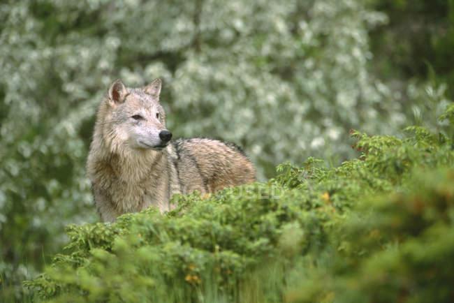 Волк в Весна лесной листвы Монтана, США. — стоковое фото