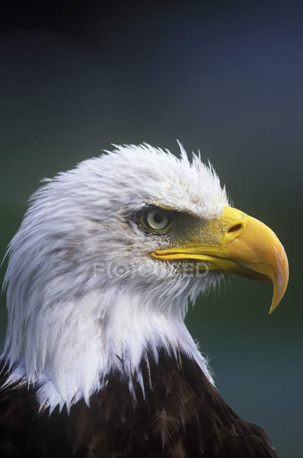 Вид сбоку лысый орел птица, сидя на открытом воздухе. — стоковое фото