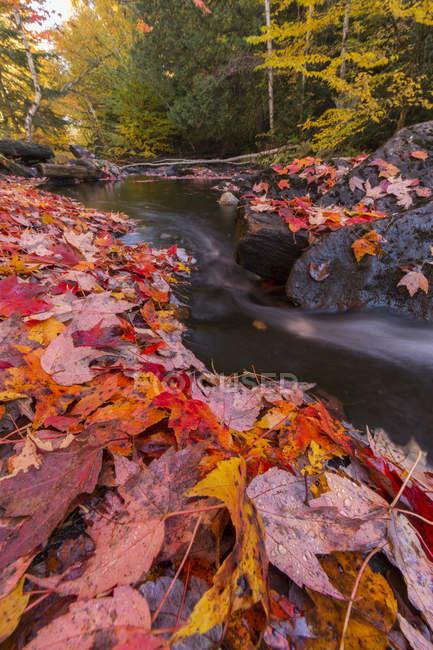 Мадавоска реки, протекающей через ковер красный клен листья вдоль дорожки и башня тропа в Альгонкуин Парк, Канада — стоковое фото