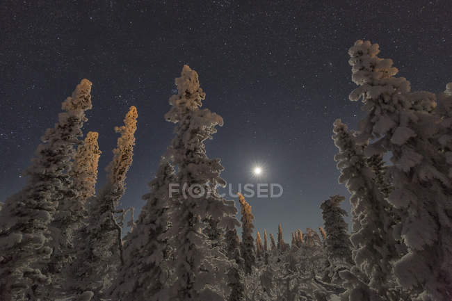Snow-covered trees and moonlit sky in northern Yukon — стоковое фото