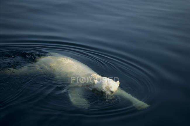 Eisbären Schwimmen im Wasser der Wager Bay, Ukkusiksalik-Nationalpark, Kanada — Stockfoto
