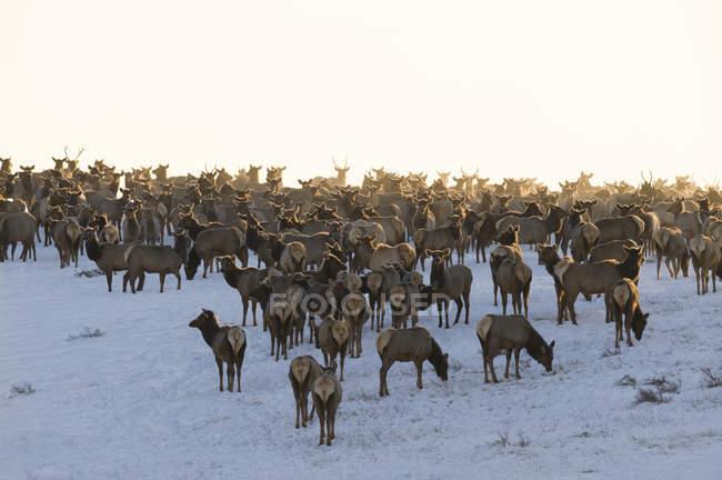 Herd of elks standing in winter in foggy Waterton Lakes National Park, Alberta, Canada. — стокове фото