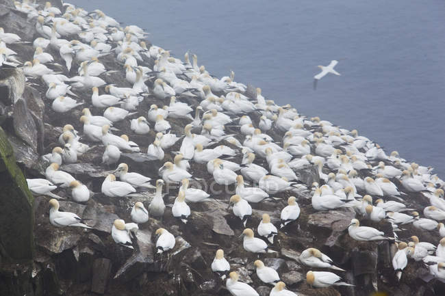 Колонія вкладеності забруднення пестицидами туманне ранок в рок-птах на Ньюфаундленді, Канада. — стокове фото