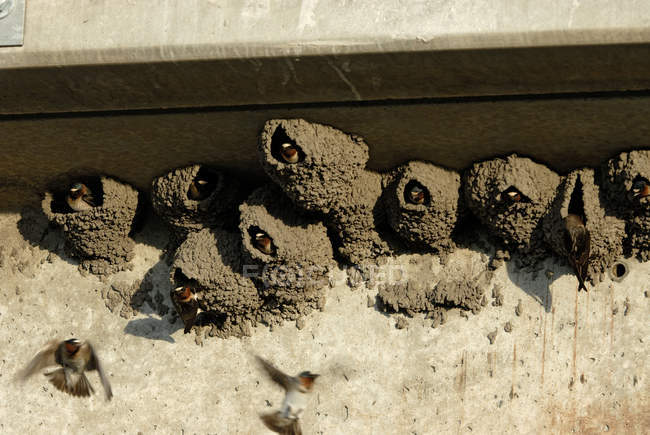 Cliff swallows looking out from mud-formed nests — Stock Photo