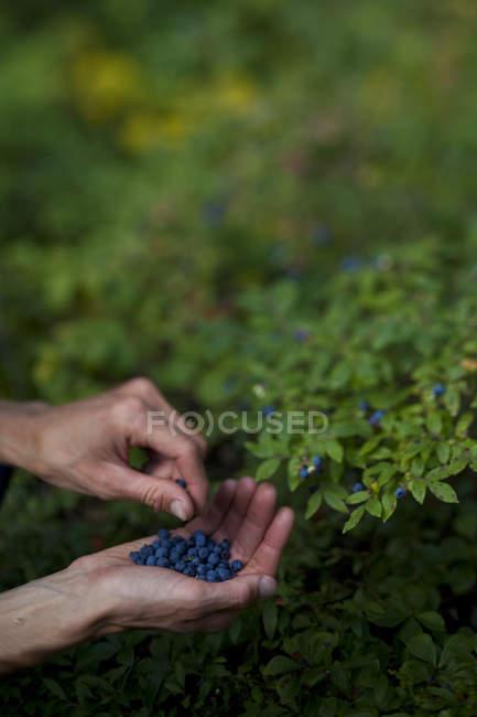 Hombre las manos recogiendo bayas de arbustos verdes - foto de stock
