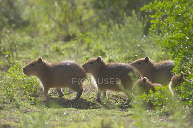 Capybaras ходіння по Луговий газон Роша, Уругвай, Південної Америки — стокове фото