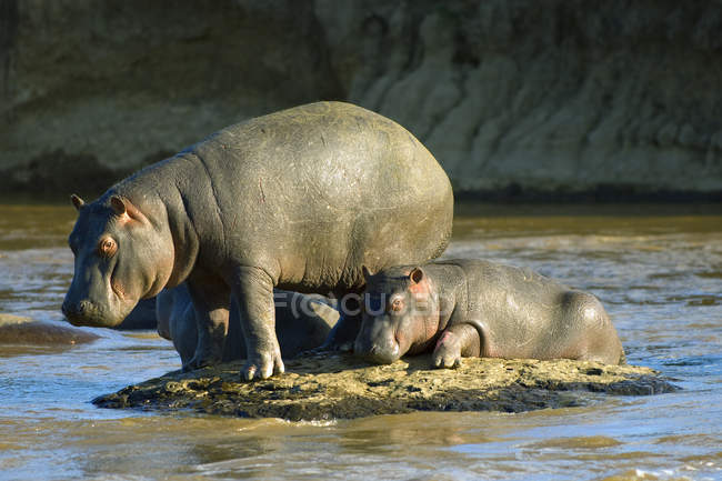 Бегемот с купанием теленка в реке в заповеднике Масаи Мара, Кения, Восточная Африка — стоковое фото