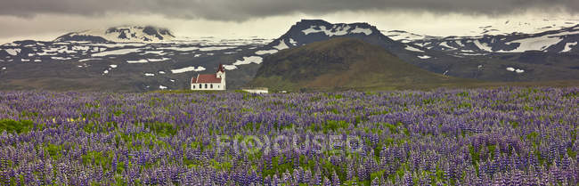 Ingjaldsholl Church in lupines field by Hellissandur, Iceland — Stock Photo