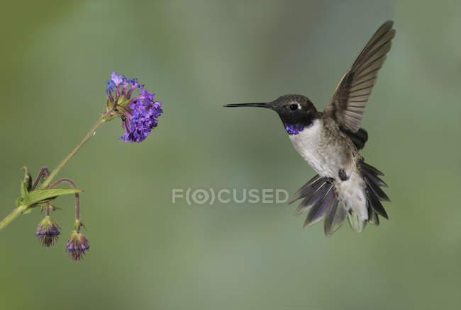 Colibrí barba negra volando de flor en el bosque. - foto de stock