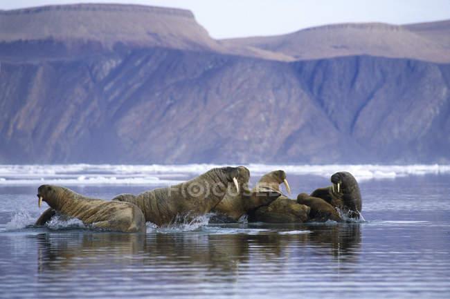 Atlantic trichechi oziare sulla banchisa, arcipelago delle isole Svalbard, Norvegia artica — Foto stock