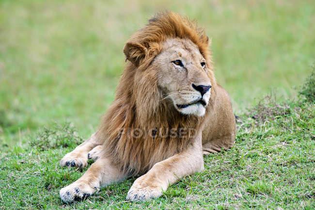 Leone africano adagiato sul prato della Riserva Masai Mara, Kenya, Africa Orientale — Foto stock