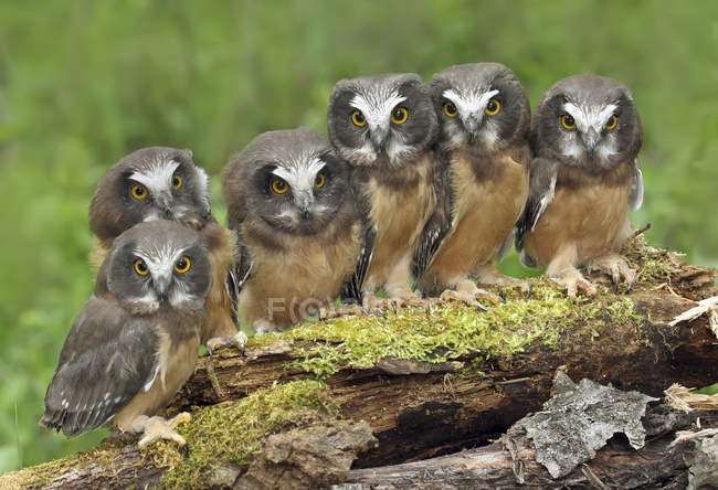 Northern saw-whet owl chicks perched on mossy log, close-up — стоковое фото