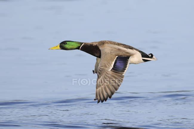 Ánade real macho en vuelo sobre el agua de la laguna. - foto de stock