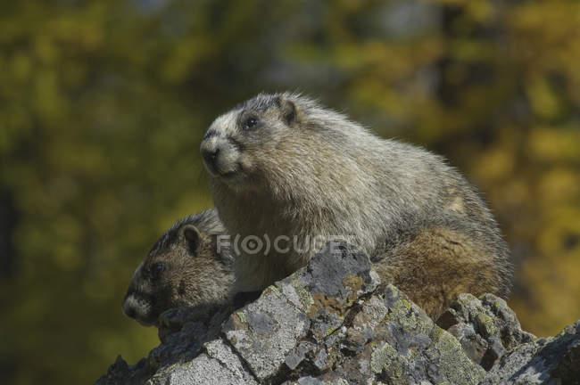 Два сиву Бабаки сидячи на скелі, Закри. — стокове фото