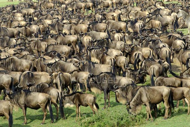 Große Gruppe von Gnus auf Wanderschaft, Masai-Mara-Reservat, Kenia, Ostafrika — Stockfoto