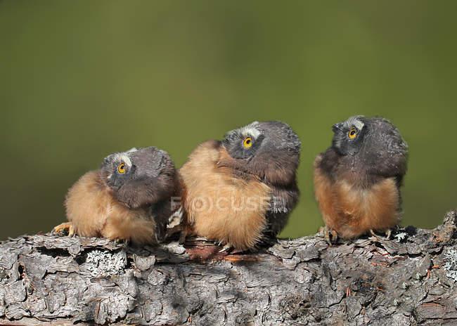 Nord del Civetta acadica pulcini appollaiato sul registro e alzando lo sguardo, close-up — Foto stock