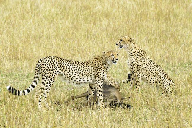 Cheetahs with wildebeest prey in meadow of Masai Mara Reserve, Kenya, East Africa — Stock Photo