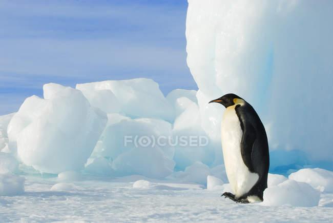 Imperatore pinguino striping accanto iceberg a terra, Snow Hill Island, penisola antartica — Foto stock