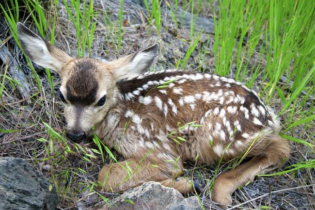 Veado-mula recém-nascido Fawn deitado na grama — Fotografia de Stock