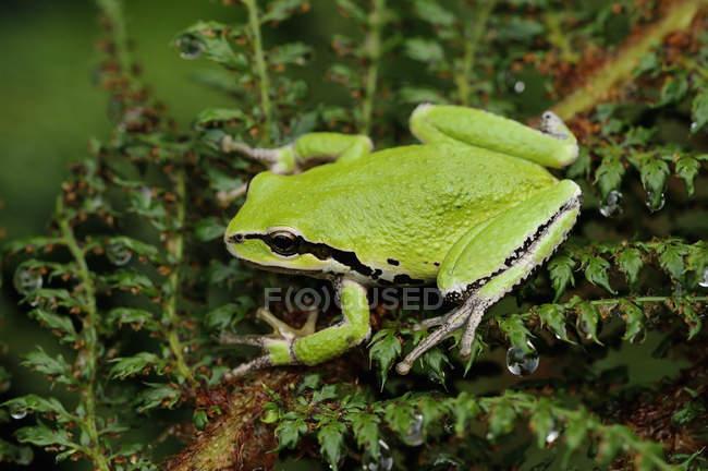 Primo piano della rana di albero pacifica verde arroccato sulla pianta. — Foto stock