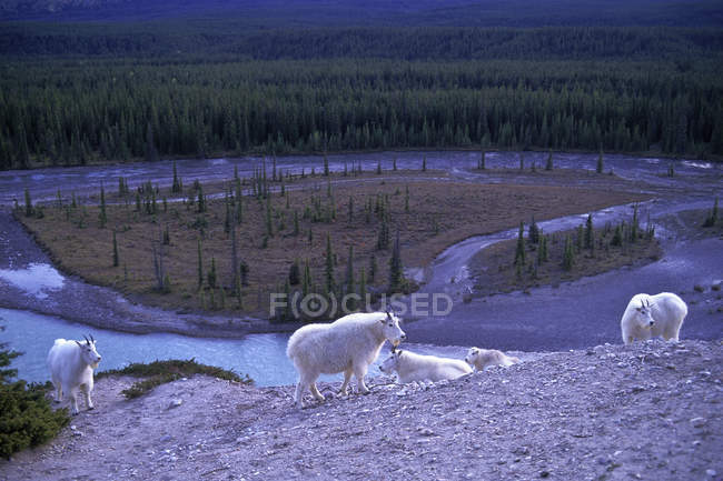 Herd of mountain goats overlooking Athabasca River in Jasper National Park, Alberta, Canada — стокове фото