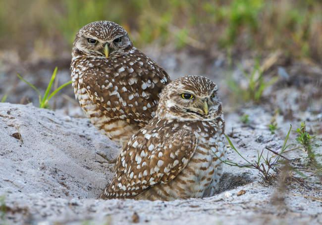 Due gufi burrowing seduta nella sabbia in prato, close-up. — Foto stock