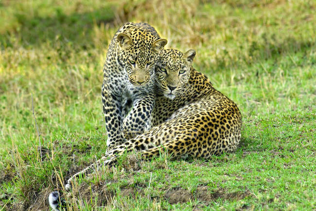 Two leopards cuddling on green grass in Masai Mara Reserve, Kenya, East Africa — Stock Photo